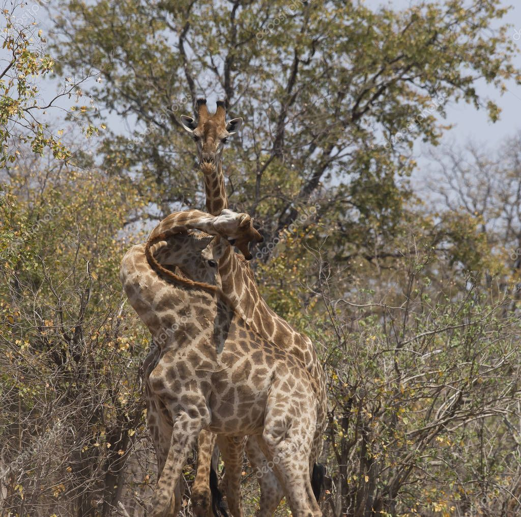Giraffes, three of them, with tangled necks and heads during a fight. Kruger National Park, South Africa