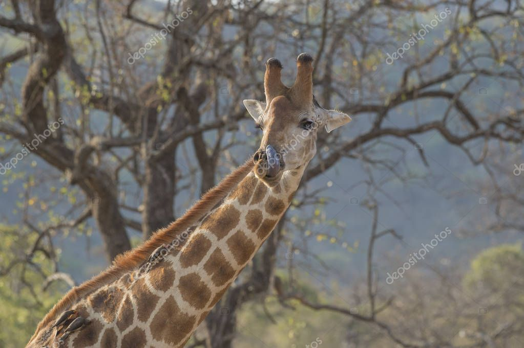 Giraffe with long tongue cleaning his nose with oxpeckers on his back