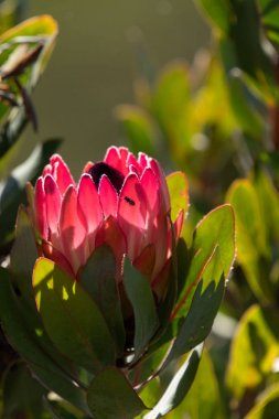 Close up of King Protea, Protea cynaroides with insect illuminated on pink petals