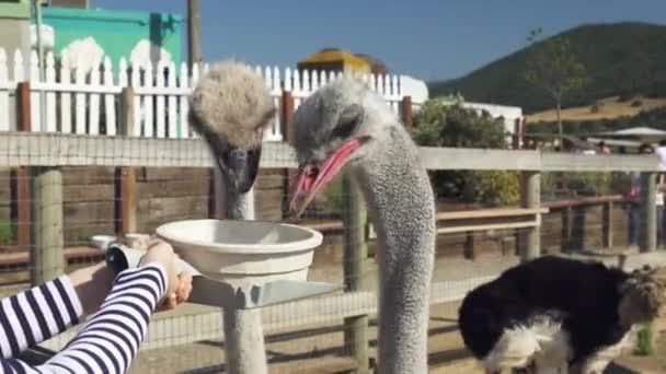 Pštrosy. Lidé krmí zvířata. Ptáci jsou vycvičeni k jídlu z mísy. Legrační zvířata. Pštrosí farma