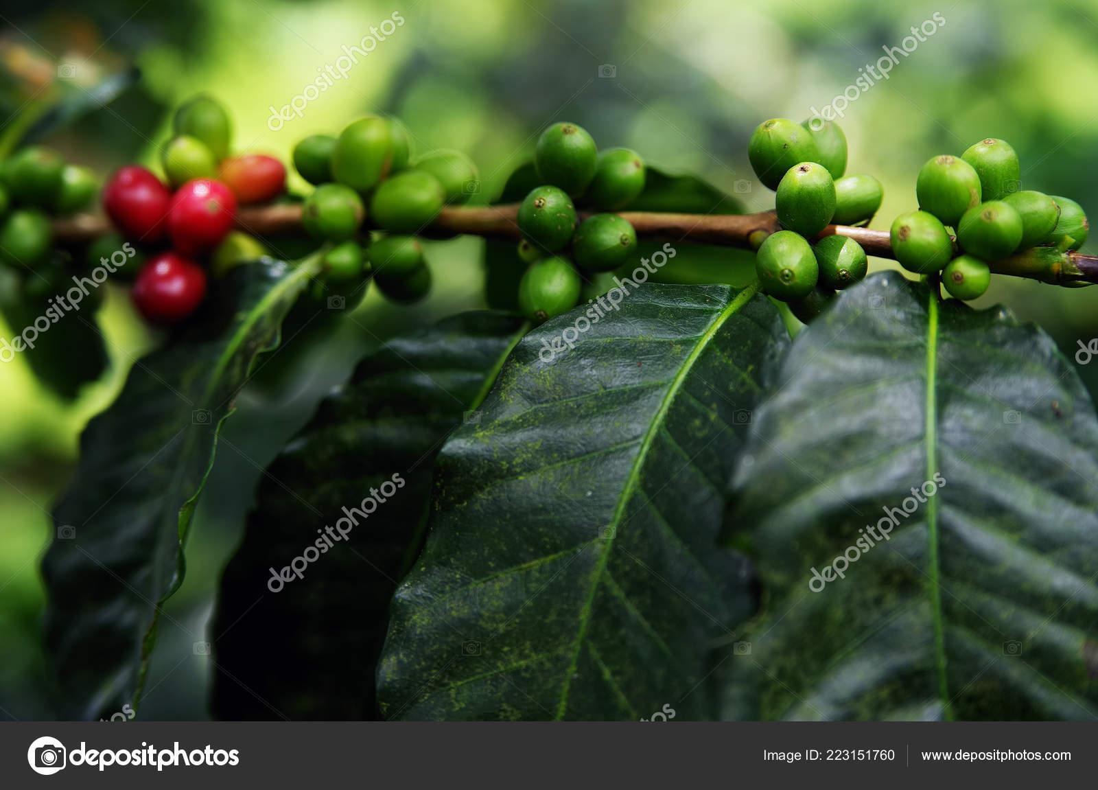 Green Coffee Beans Growing Branch Raw Coffee Bean Coffee Tree