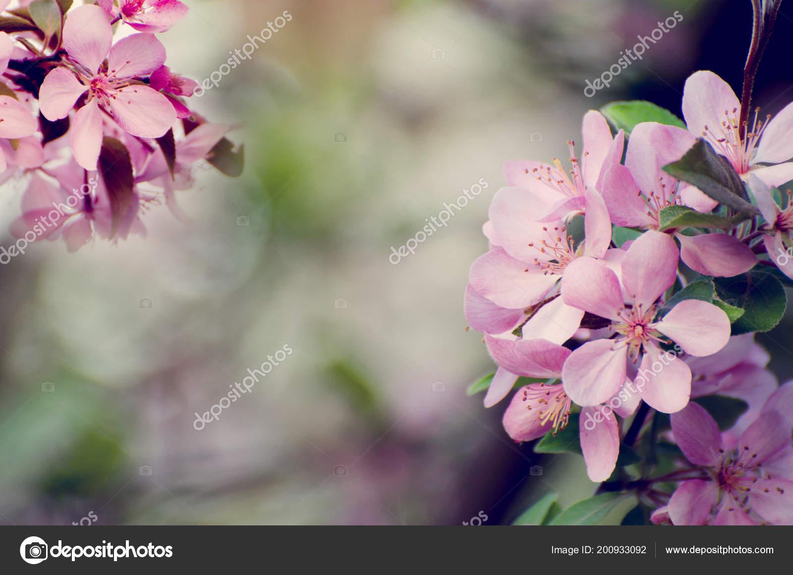 Pink flowers of apple tree against blurred bokeh background pink flowers of apple tree against blurred bokeh background romantic floral template stok mightylinksfo