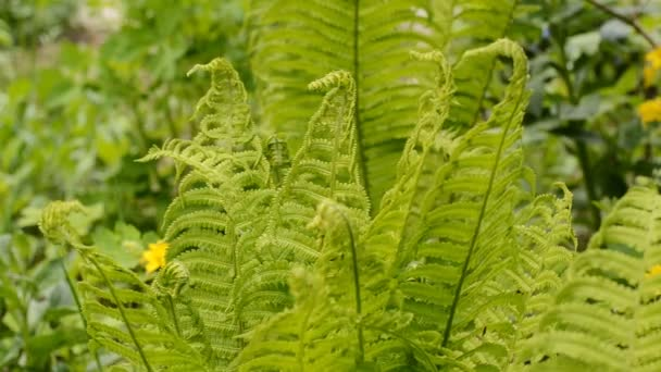 young fern leaves in garden