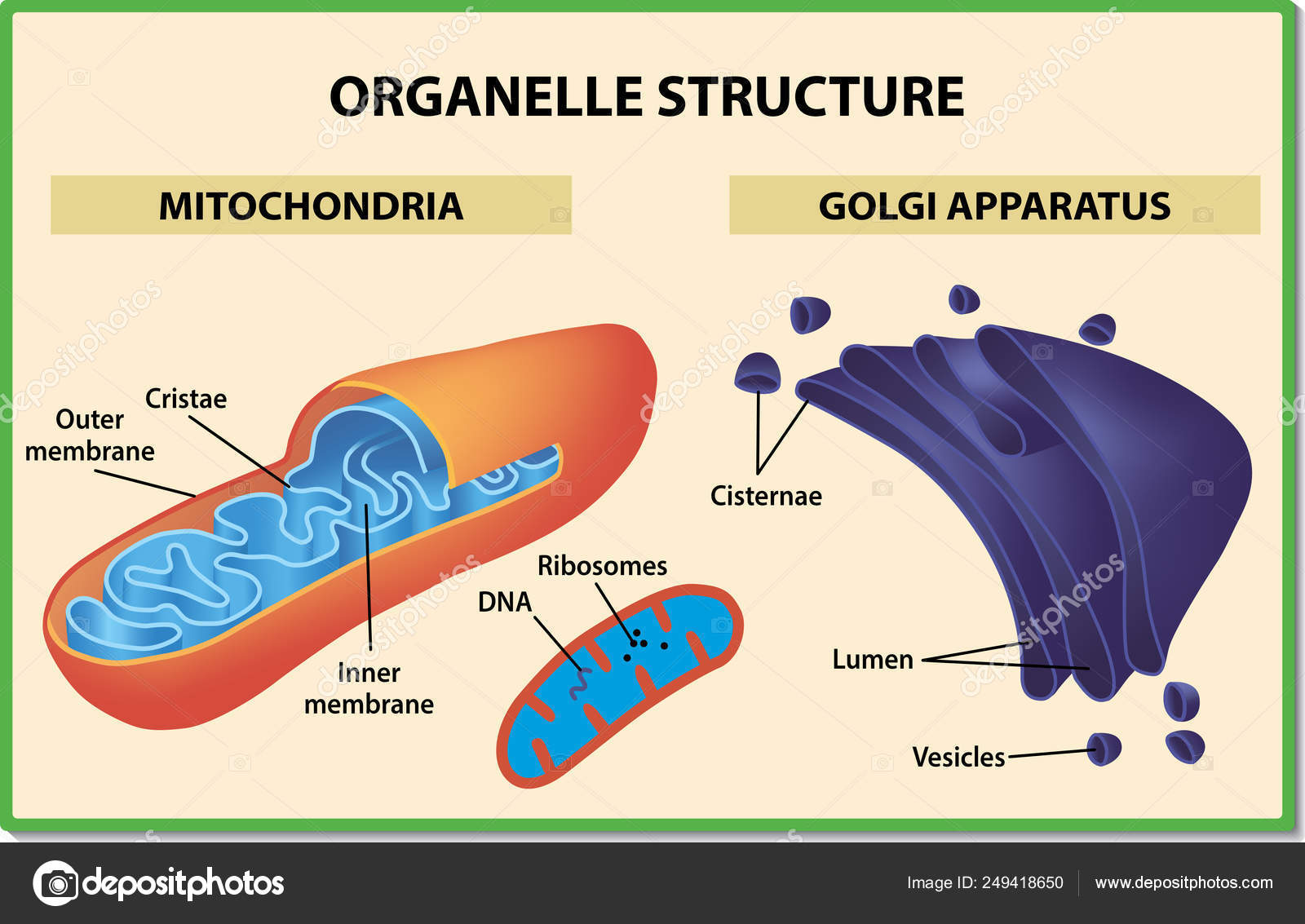 Cell Organelles Structure Mitochondria And Golgi Apparatus