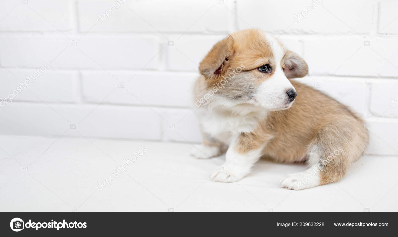 Pictures Small Fluffy White Puppies Small Cute Puppy Dog Looking Studio Shot Adorable Fluffy Puppy Stock Photo C Zakharova 209632228
