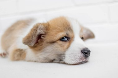 Cute Puppy Welsh Corgi Pembroke on a white background