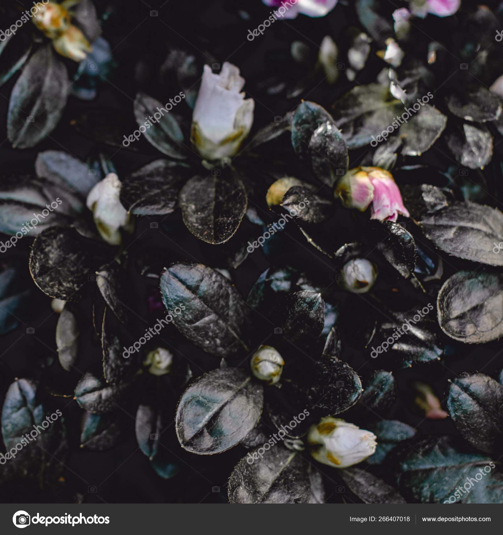 Dark Pink Flower Wallpaper Dark Vintage Flower Background Pink Azalea Flower Wallpaper Stock Photo C Zakharova 266407018
