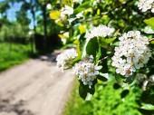 Jablko kvete na jaře. Krásná příroda na jaře. Podrobnosti a detail