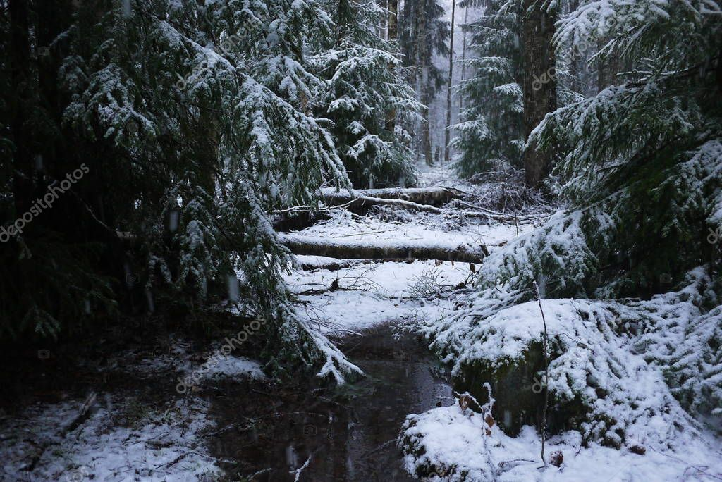Snow falls in the forest with trees. Intense snow instantly covers the surface of the forest and tree branches with a layer of snow. Details and close-up of snow.