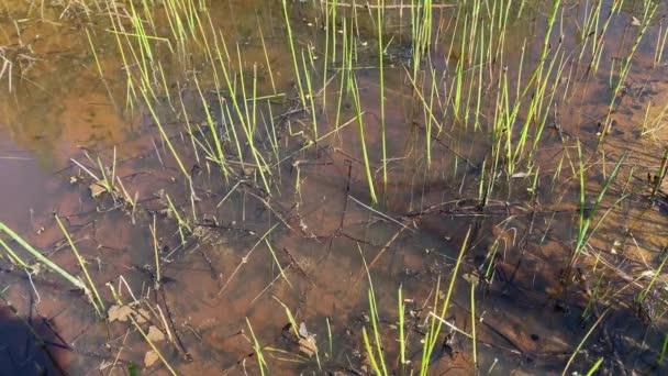 Kaulquappen schwimmen im See