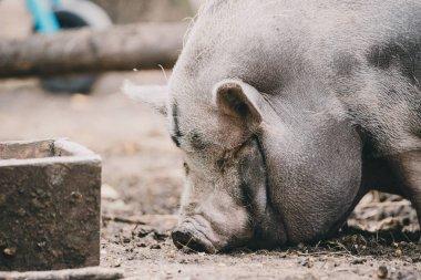 Vietnamese pig on the farm