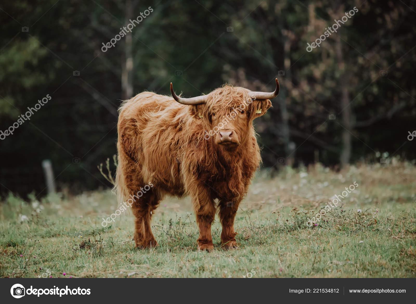 Scottish Highland Cattle Pasture Stock Photo Linux1987