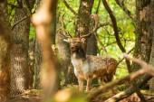 Damhirsch-Bock im Wald