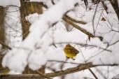 Citromsármány madár a fa ága