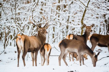 Red deer herd in the winter forest