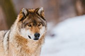 Fotografie Wolf in the winter forest