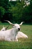 Ungarische Graurinder auf der Weide