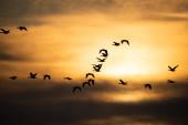 Gänseschwarm fliegt bei Sonnenuntergang