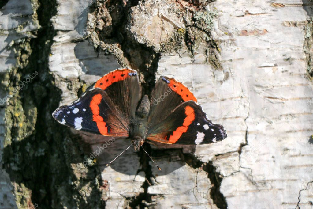 Red Admiral butterfly Vanessa atalanta sitting on a gray bark of a tree
