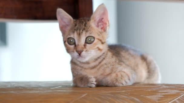 graues süßes Kätzchen gähnt weit aufgerissenen Mund
