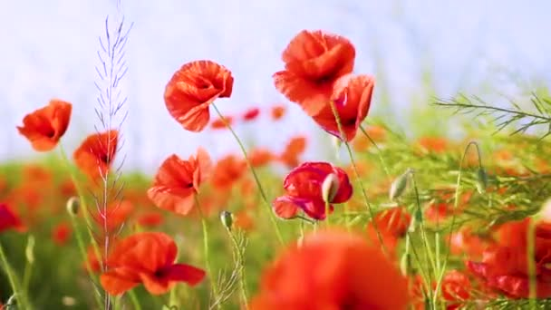 slow motion, close-up, poppies swaying in the wind, poppy field warm Sunny day, WWI