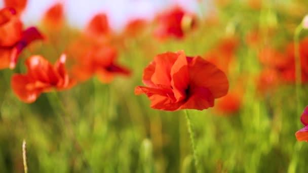 pomalý pohyb, zblízka, máky se kymáceli ve větru, máku Field teplý slunečný den, první světová válka