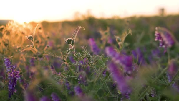 Lavender field at sunset, close-up, slow motion, lavender lilac flowers