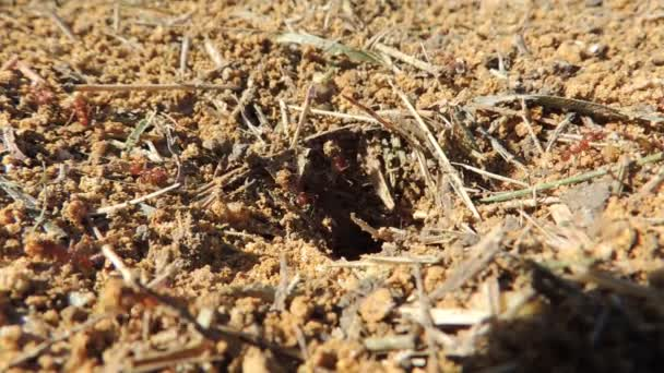 Ants Carrying Food. Red ants working in the nest
