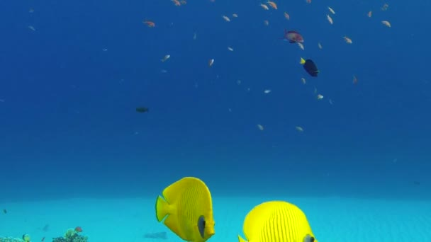 Underwater Colorful Tropical Fish Butterflyfish
