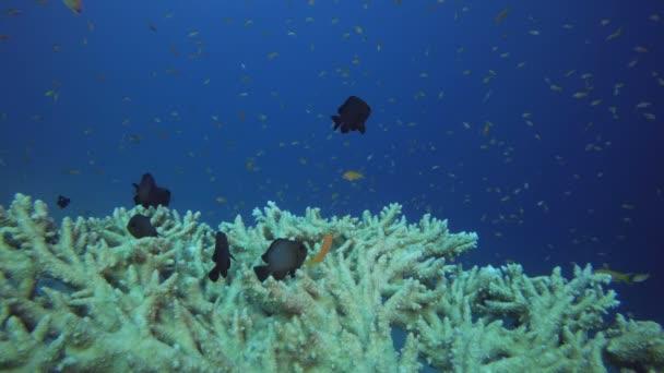 Hal- és korall táblázat