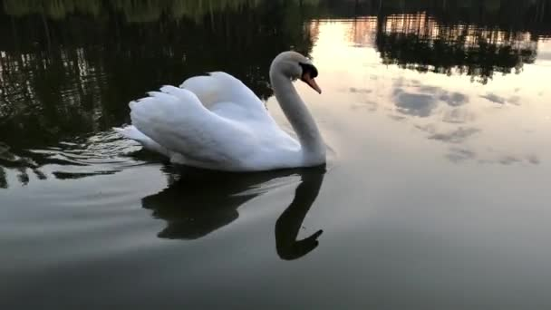 White swans swim on a lake in the forest. The sun and clouds are reflected in the water.