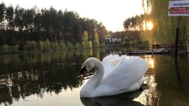 Weiße Schwäne schwimmen auf einem See im Wald. Sonne und Wolken spiegeln sich im Wasser.