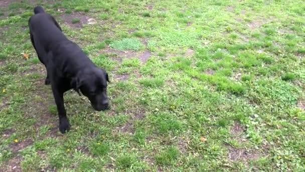 Fekete nagy kutya Kana Corse ül a kerítés közelében, és úgy néz ki a távolba. Cane Corso-Kutyatenyésztés családfájával.