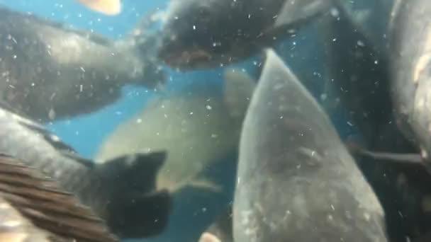 Živé sladkovodní ryby hýbou tlamou. Kapr se šupinami plave ve velkém akváriu. Rybí hlava ve vodě, zblízka. Koncept: dobrý úlovek, rybí obchod