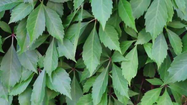 Zblízka zelené divoké vinné listy ve velkém množství růst na zdi. To jsou podlouhlé zelené listy.