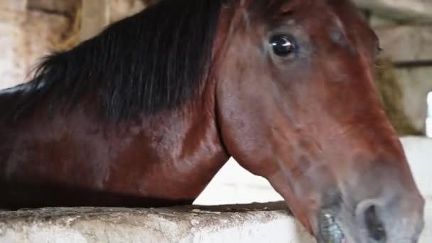 Közelkép a szájkosár egy gyönyörű barna ló áll egy istállóban.