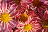 Close up of the Pink and white flowers