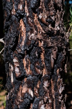 Dark charred pine tree bark after a forest fire