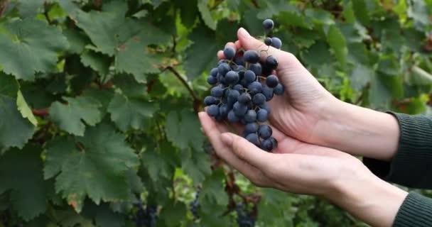 Egy nő, aki egy rakás érett vörös szőlőt tart egy szőlőfarmon. Szüret előtt a termelés a vörös bor. Saperavi szőlő az Alazan völgyben, Grúzia.
