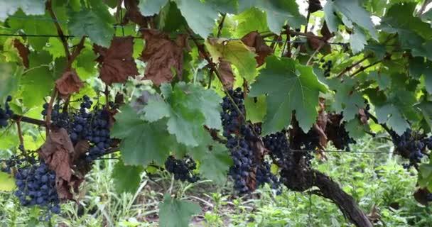 Hromádky zralých červených hroznů na vinici na viniční farmě. Sklizeň Sezóna pro výrobu červeného vína. Saperavi Grape In The Alazan Valley, Georgia.