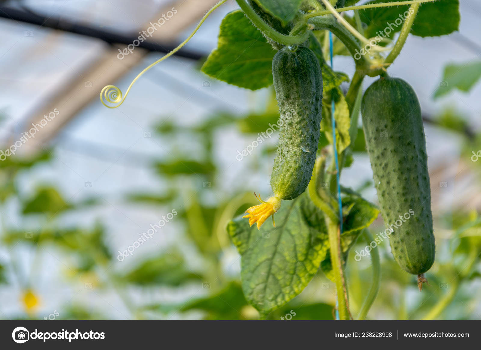 Cucumbers Growing Greenhouse Flowers Cucumber Ovaries