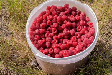 Fresh ripe red raspberry berries in a food transparent bucket. Close-up, top view. Flat lay.