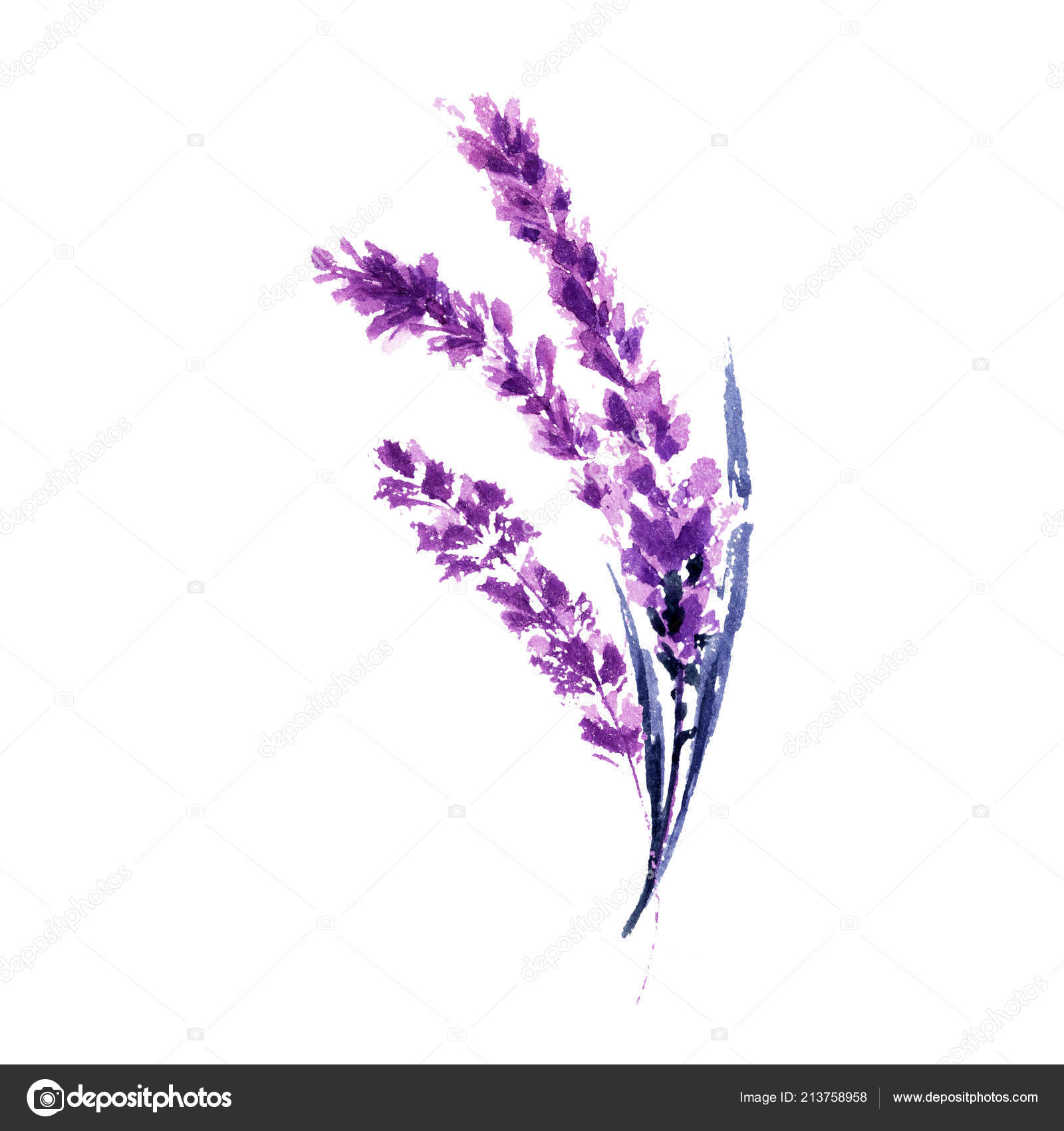 Lavender Flowers Watercolor Illustration Straight Lavender Branches Wedding Valentine Day Stock Photo Image By C Ilonitta 213758958