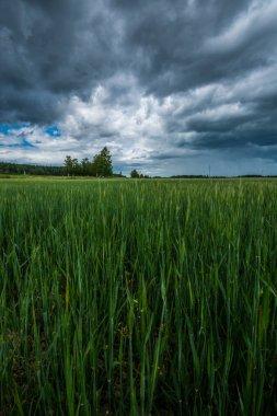 Green field. Summer landscape. Beautiful clouds. Nature landscape.