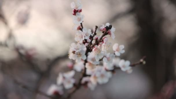 Cseresznyefa virágzik tavasszal