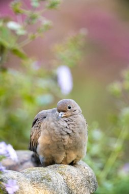 close up of mourning dove sitting outdoors
