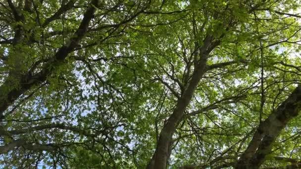 vrcholky stromů k nebeskému pohledu zdola, Zpomalený pohyb kamery 4k