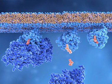 3d computer illustration of the activation process of a Ras protein. Inactive Ras protein (left) is activated by a GEF protein opening the binding site and allowing GDP to exit. Afterwards GTP can bind to RAS turning it into the active form (right).