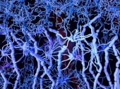 White matter: neurons with myelinated axons, oligodendrocytes forming the myelin sheaths, fibrous astrocytes and microglia cells