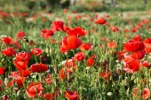 Red poppy flowers on the field. Nature